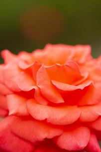 バラの花 アップの写真素材 [FYI04623633]