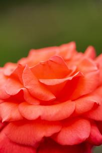 バラの花 アップの写真素材 [FYI04623634]