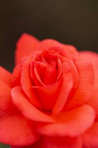 バラの花 アップの写真素材 [FYI04623638]