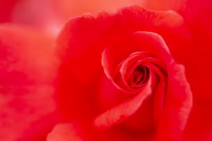 薔薇の花 アップの写真素材 [FYI04623641]