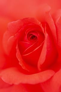 薔薇の花 アップの写真素材 [FYI04623644]
