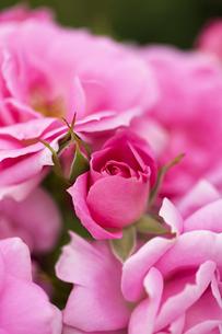 ピンク色の薔薇の写真素材 [FYI04623645]