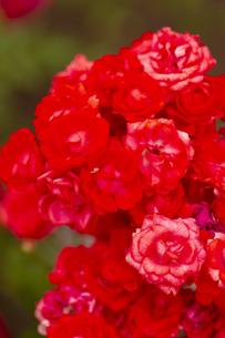 紅いバラの花の写真素材 [FYI04623646]