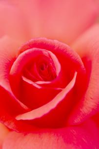 薔薇の花 アップの写真素材 [FYI04623653]