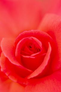 薔薇の花 アップの写真素材 [FYI04623655]