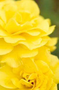 黄色いバラの花の写真素材 [FYI04623656]