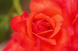 バラの花 アップの写真素材 [FYI04623658]