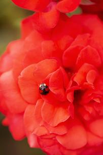 バラの花にてんとう虫の写真素材 [FYI04623659]