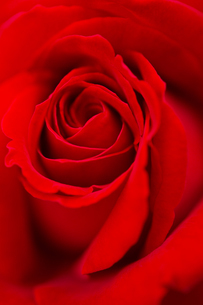 紅い薔薇の花 アップの写真素材 [FYI04623666]