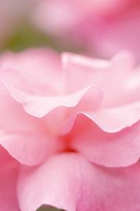 バラの花びら アップの写真素材 [FYI04623668]