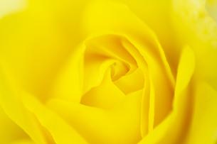 黄色いバラの花 アップの写真素材 [FYI04623676]