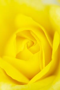 黄色いバラの花 アップの写真素材 [FYI04623677]