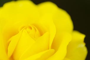 黄色いバラの花 アップの写真素材 [FYI04623678]