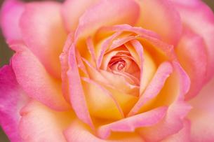 バラの花 アップの写真素材 [FYI04623679]