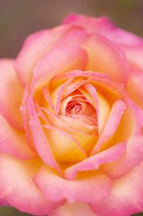 バラの花 アップの写真素材 [FYI04623680]