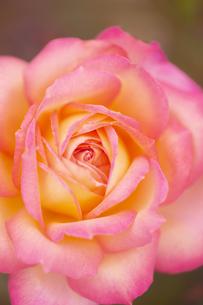 バラの花 アップの写真素材 [FYI04623681]