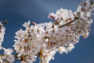 奥多摩の桜の写真素材 [FYI04623751]