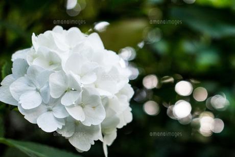 白いあじさい の写真素材 [FYI04623802]