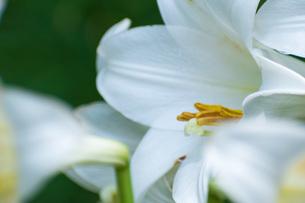 百合の花の写真素材 [FYI04623804]