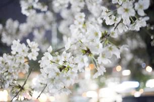 夜桜とネオンの写真素材 [FYI04624415]