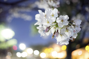 夜桜とネオンの写真素材 [FYI04624416]