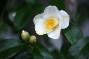 椿・白い一重咲きの花の写真素材 [FYI04624569]