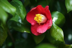 椿・ヤブツバキの花の写真素材 [FYI04624570]