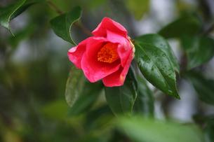 椿・ヤブツバキの花の写真素材 [FYI04624571]