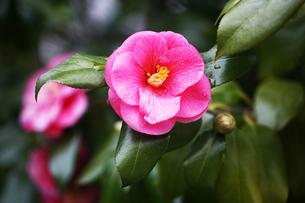 椿・ピンク色の花の写真素材 [FYI04624572]