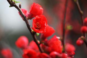 ボケの花・緋色の御旗の写真素材 [FYI04624581]