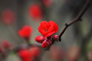 ボケの花・緋色の御旗の写真素材 [FYI04624582]