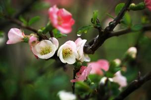 ボケ・東洋錦の花の写真素材 [FYI04624583]