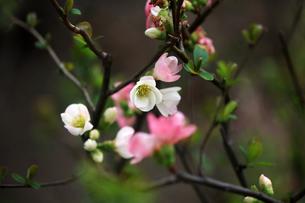 ボケ・東洋錦の花の写真素材 [FYI04624584]