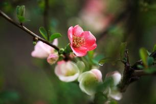 ボケ・東洋錦の花の写真素材 [FYI04624585]