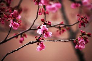 桜・雅の花咲くの写真素材 [FYI04624592]