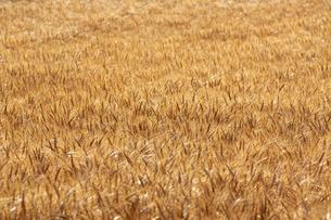 麦畑の写真素材 [FYI04624660]