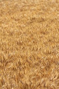 麦畑の写真素材 [FYI04624661]