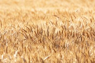 小麦畑の写真素材 [FYI04624663]