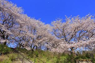 幸手権現堂桜堤の写真素材 [FYI04624671]