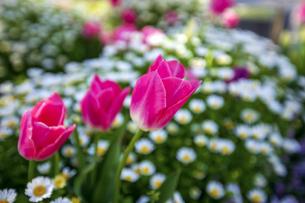 公園に咲くチューリップの写真素材 [FYI04624791]