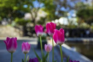 公園に咲くチューリップの写真素材 [FYI04624792]