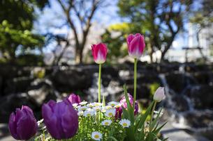公園に咲くチューリップの写真素材 [FYI04624793]