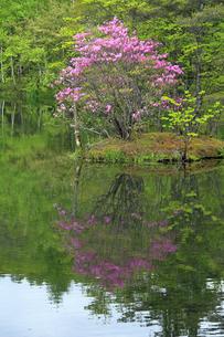 5月 駒出池のトウゴクミツバツツジの写真素材 [FYI04624984]
