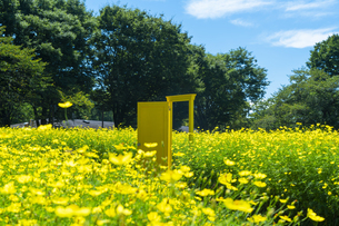 国営昭和記念公園 黄色いドアとキバナコスモスの写真素材 [FYI04625187]