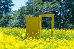 国営昭和記念公園 黄色いドアとキバナコスモスの写真素材 [FYI04625194]