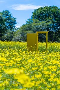 国営昭和記念公園 黄色いドアとキバナコスモスの写真素材 [FYI04625196]
