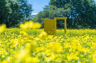 国営昭和記念公園 黄色いドアとキバナコスモスの写真素材 [FYI04625200]