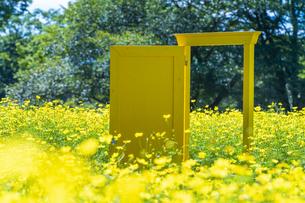 国営昭和記念公園 黄色いドアとキバナコスモスの写真素材 [FYI04625204]