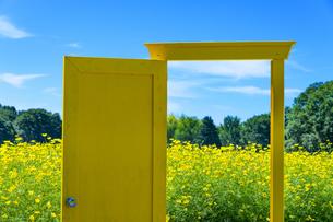 国営昭和記念公園 黄色いドアとキバナコスモスの写真素材 [FYI04625232]