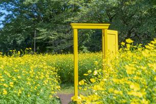 国営昭和記念公園 黄色いドアとキバナコスモスの写真素材 [FYI04625237]